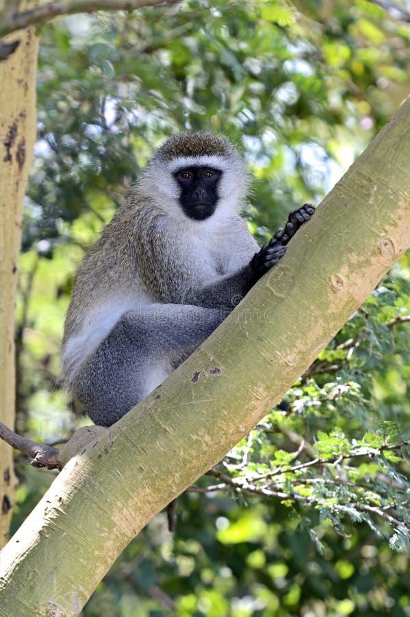 Macaco verde imagem de stock