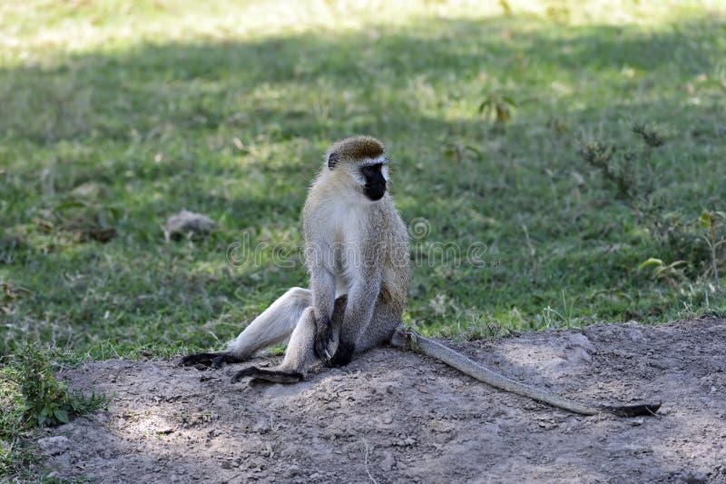 Macaco verde imagens de stock royalty free