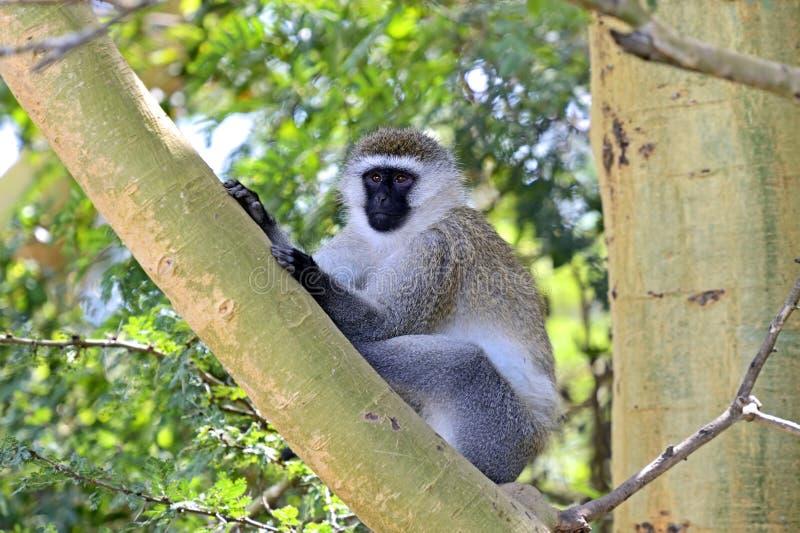 Macaco verde foto de stock royalty free