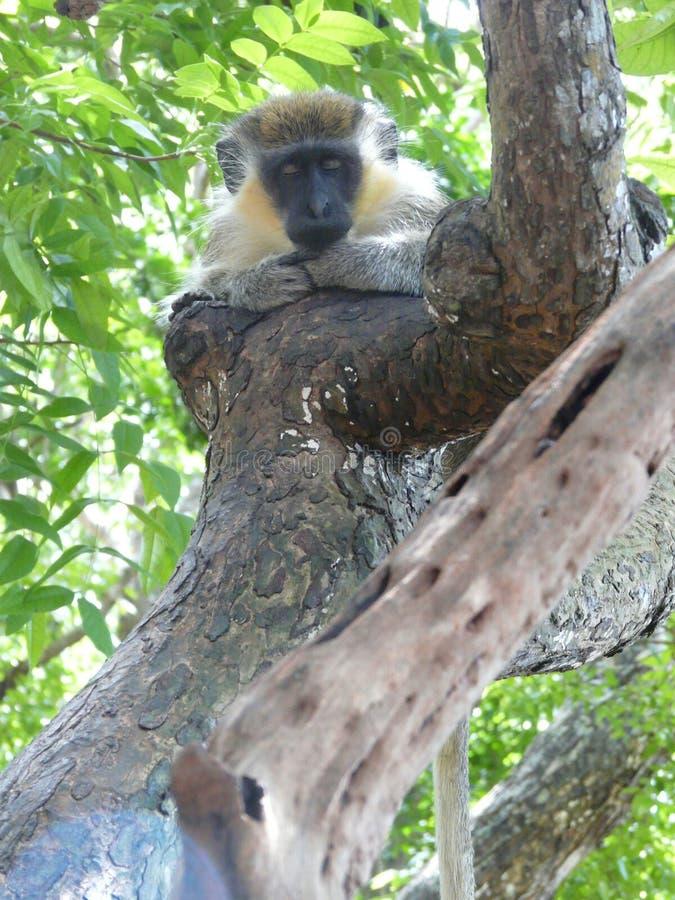 Macaco verde na reserva dos animais selvagens de Barbados foto de stock
