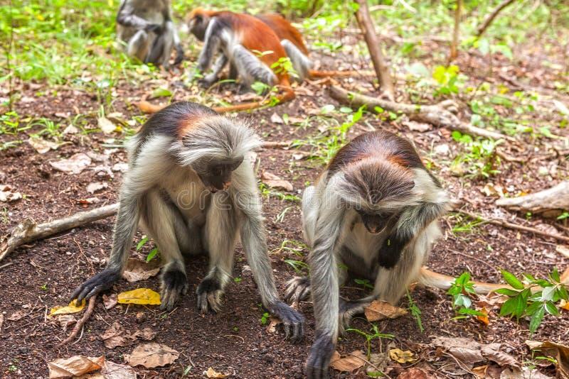 Macaco vermelho do colobus (kirki de Piliocolobus) foto de stock