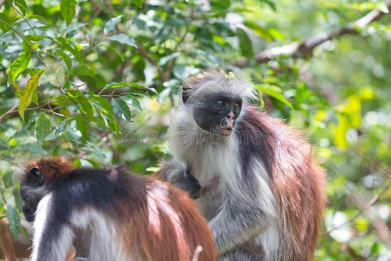 Macaco vermelho Zanzibar do kirki de Piliocolobus do colobus, Tanzânia imagem de stock royalty free