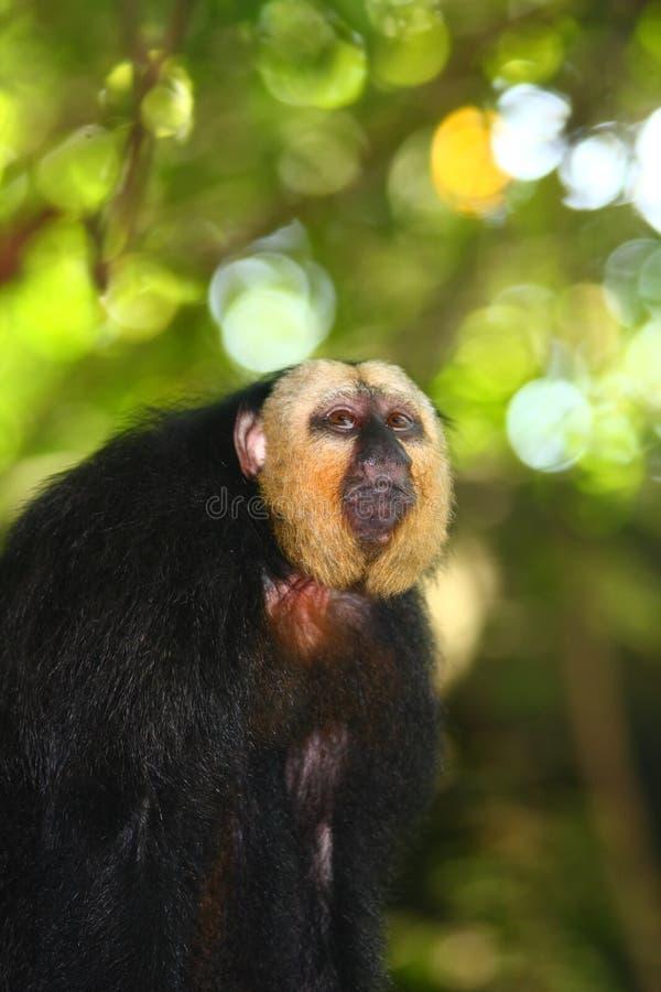 Macaco White-faced de Saki fotos de stock