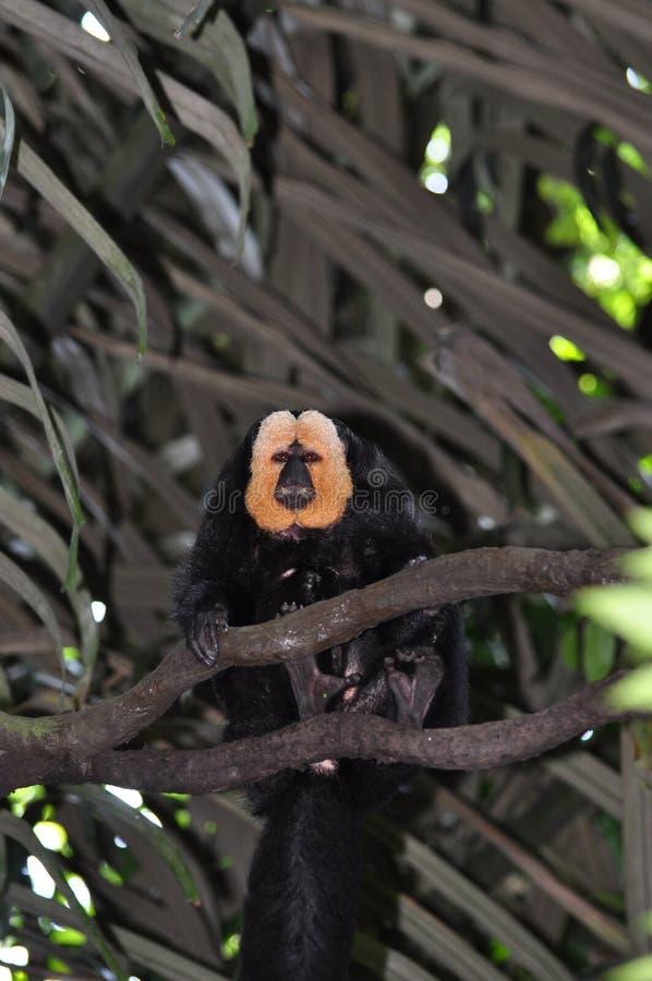 Macaco White-faced do saki imagens de stock royalty free
