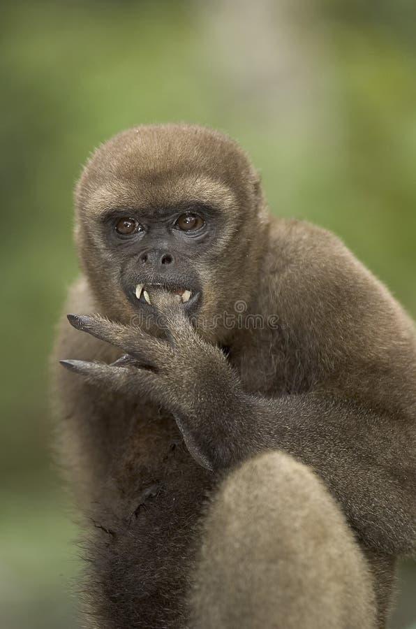 Macaco Woolly imagem de stock