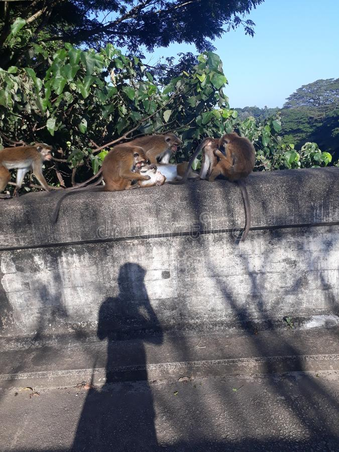 macacos imagens de stock
