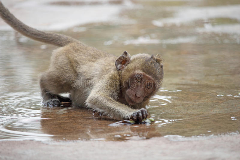 Download Macacos bonitos imagem de stock. Imagem de real, macaque - 65577133