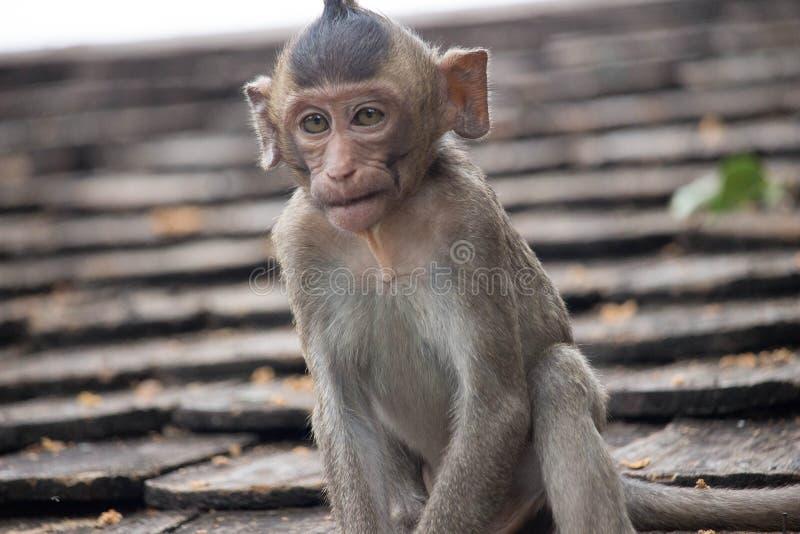 Download Macacos bonitos foto de stock. Imagem de foto, primata - 65577142