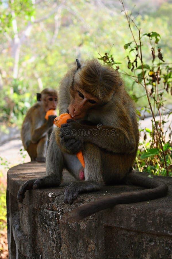 Macacos com gelado roubado, Dambulla, Sri Lanka, Ásia imagens de stock