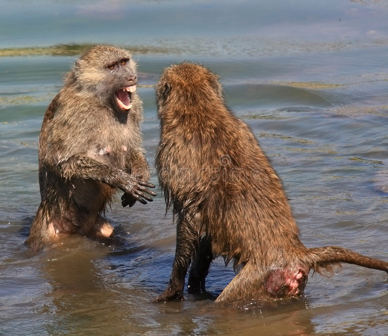 Macacos da luta foto de stock royalty free