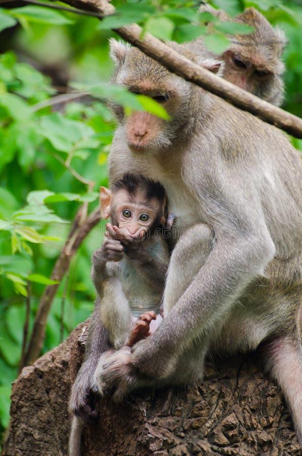 Macacos da mamã e do bebê imagens de stock royalty free
