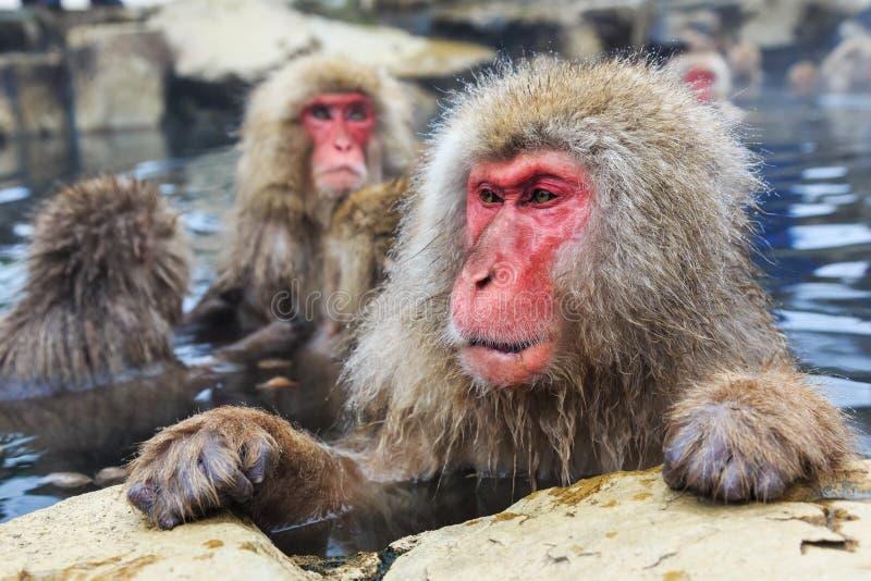 Macacos da neve, Japão foto de stock