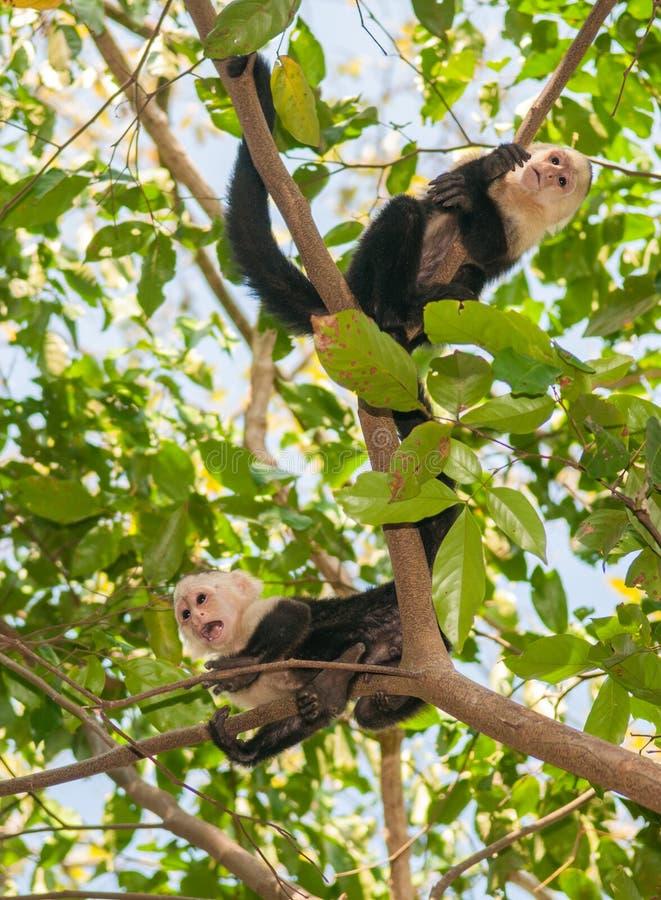 Macacos de aranha fotos de stock
