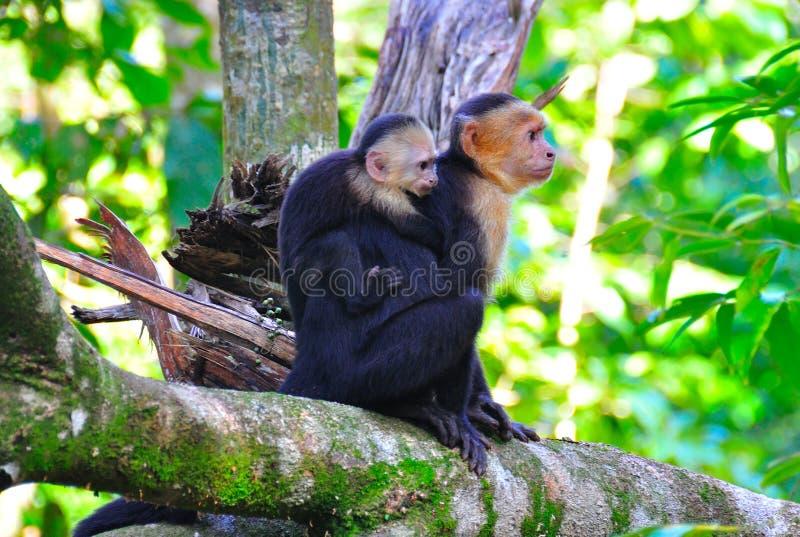 Macacos de aranha da matriz e do bebê imagens de stock royalty free