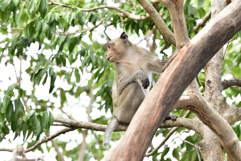 Macacos de cauda longa, cabelo marrom em grandes árvores na floresta em um monte natural coberto com os vários tipos das árvores imagens de stock