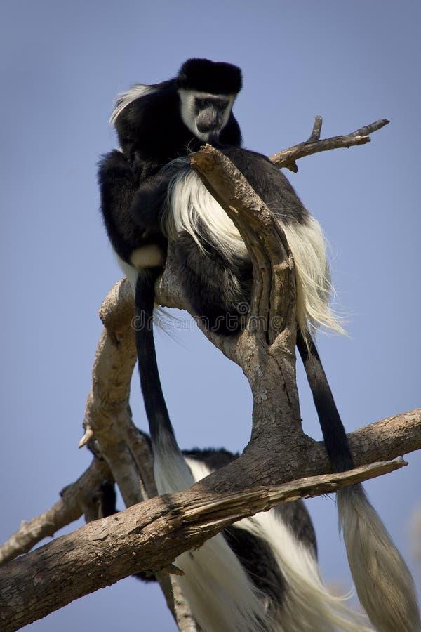 Macacos de Colobus fotografia de stock