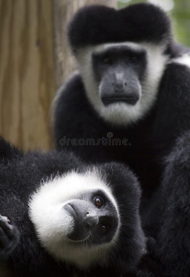 Macacos de Colobus imagens de stock