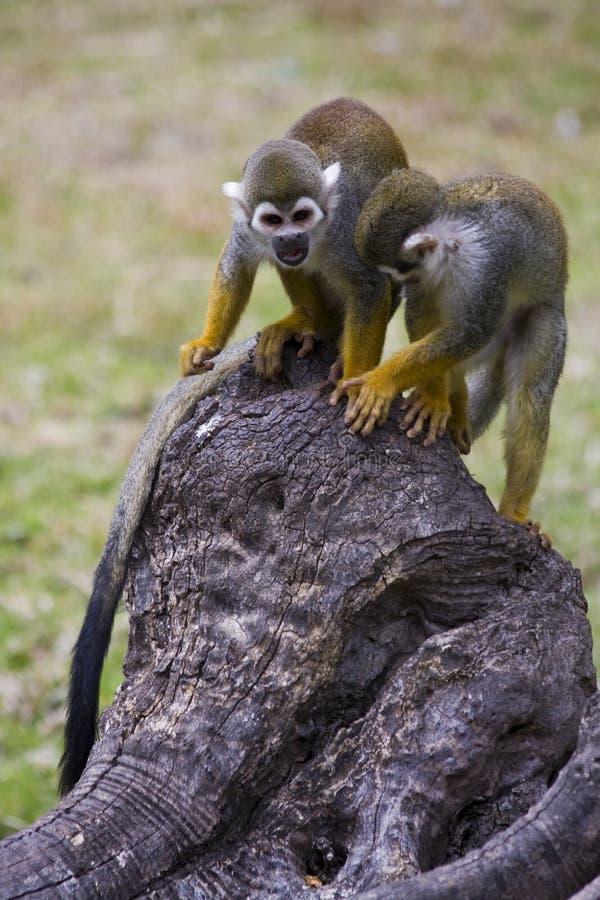 Macacos de esquilo fotos de stock royalty free