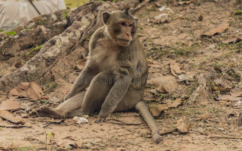 Macacos de Gibbon perto do templo de Angkor Wat foto de stock royalty free