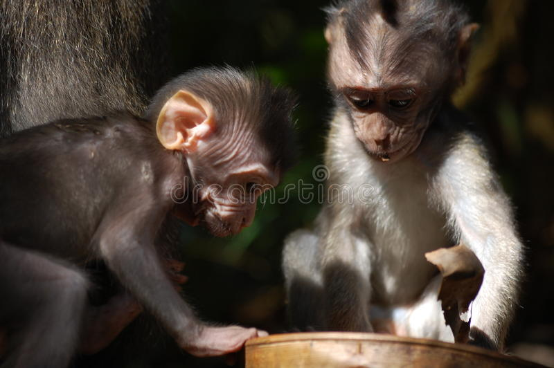 Macacos de Macaque do bebê fotografia de stock
