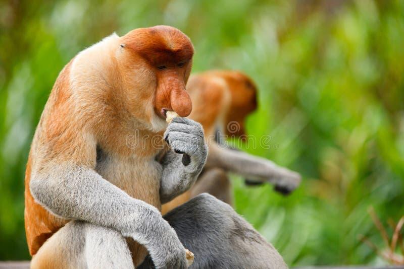 Macacos de Proboscis imagens de stock