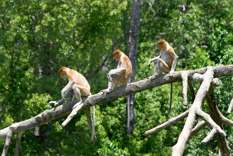 Macacos de Proboscis imagem de stock