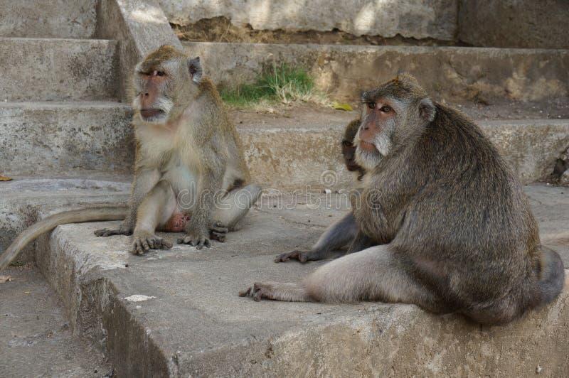 Macacos de Pura Luhur Uluwatu Temple Bali fotografia de stock royalty free