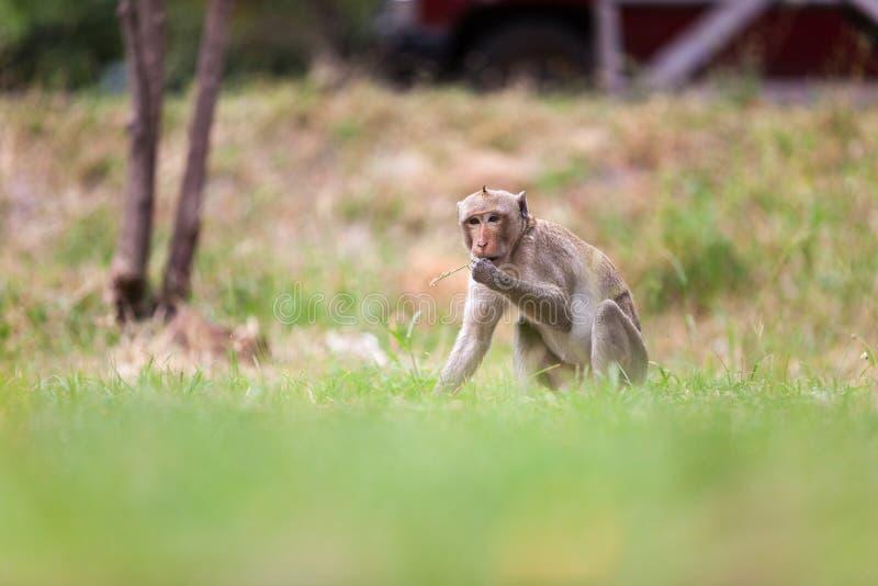 Macacos de Tailândia foto de stock