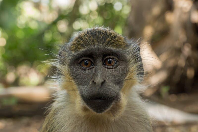Macacos de Vervet verdes em Bigilo Forest Park, Gâmbia imagem de stock