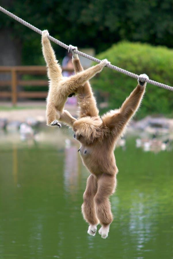 Macacos do Gibbon imagem de stock royalty free