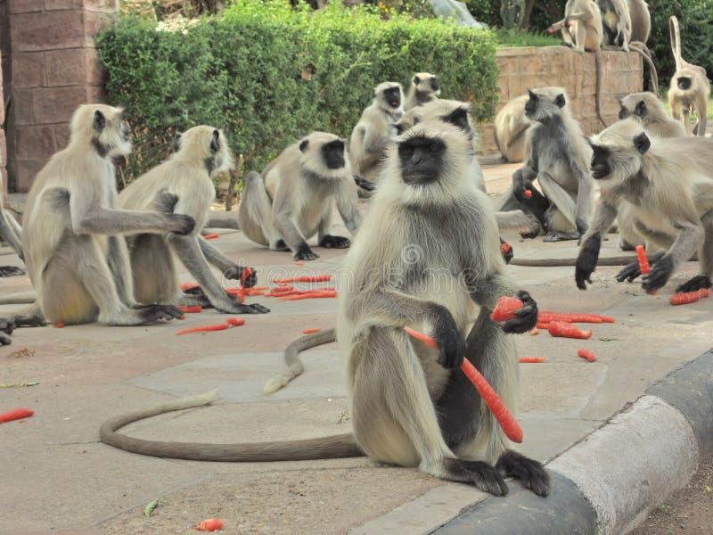 Macacos em India fotografia de stock
