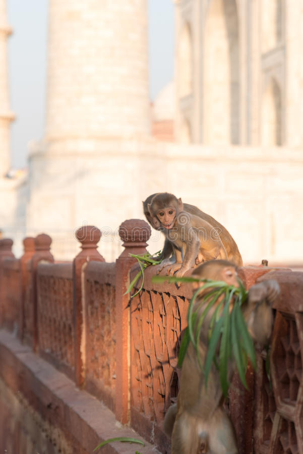 Macacos em Taj Mahal fotografia de stock royalty free