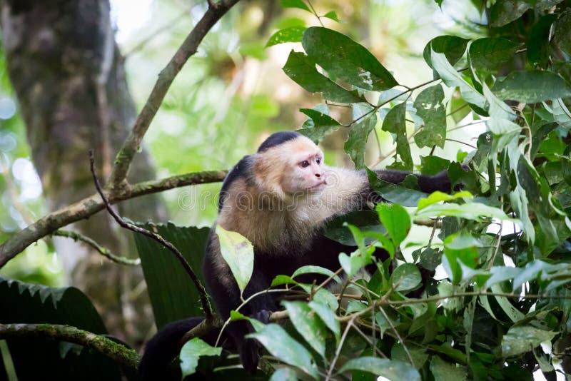 Macacos enfrentados brancos em Costa Rica imagens de stock