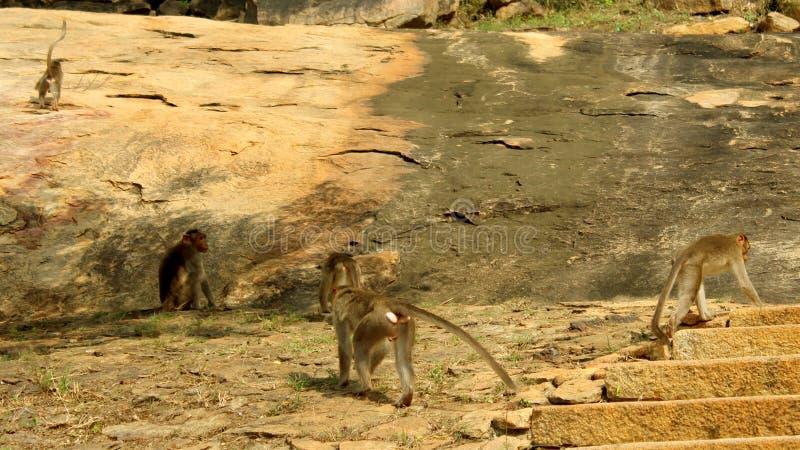 Macacos engraçados no monte da rocha imagens de stock