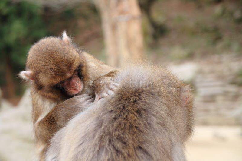 macacos japoneses selvagens da preparação em Beppu, Oita imagens de stock