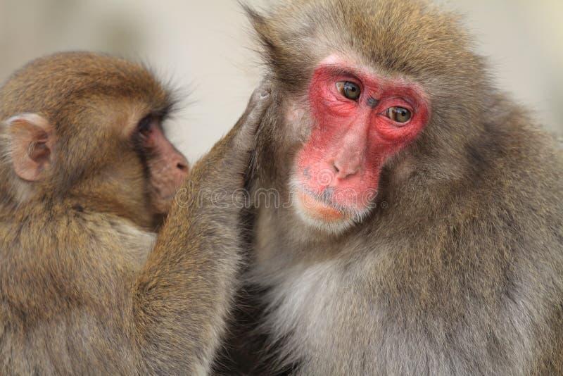 macacos japoneses selvagens da preparação em Beppu, Oita fotos de stock royalty free