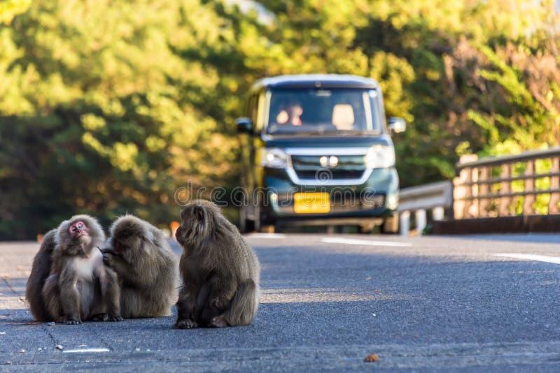 Macacos na estrada que ignoram o tráfego fotografia de stock