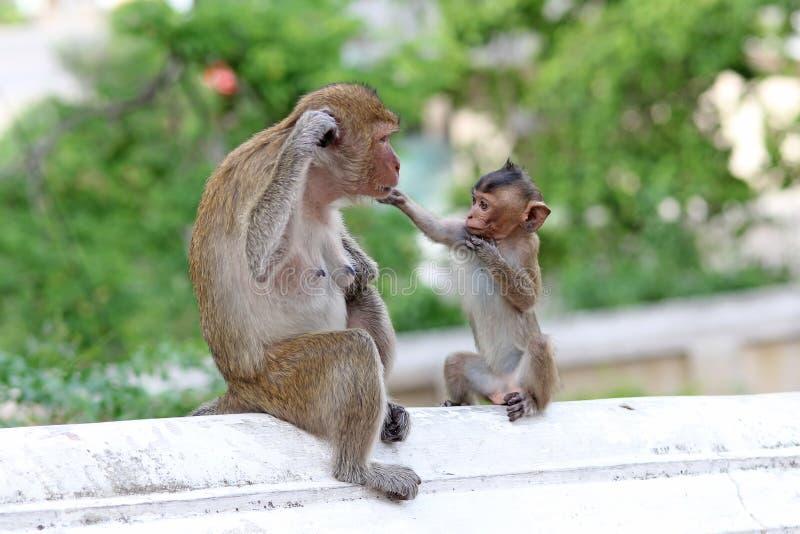 Macacos na natureza fotos de stock