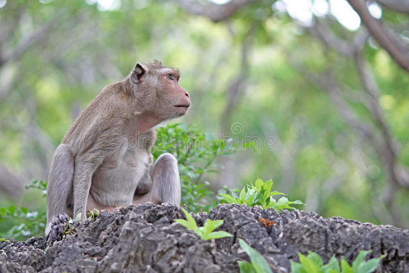 Macacos na natureza imagens de stock royalty free