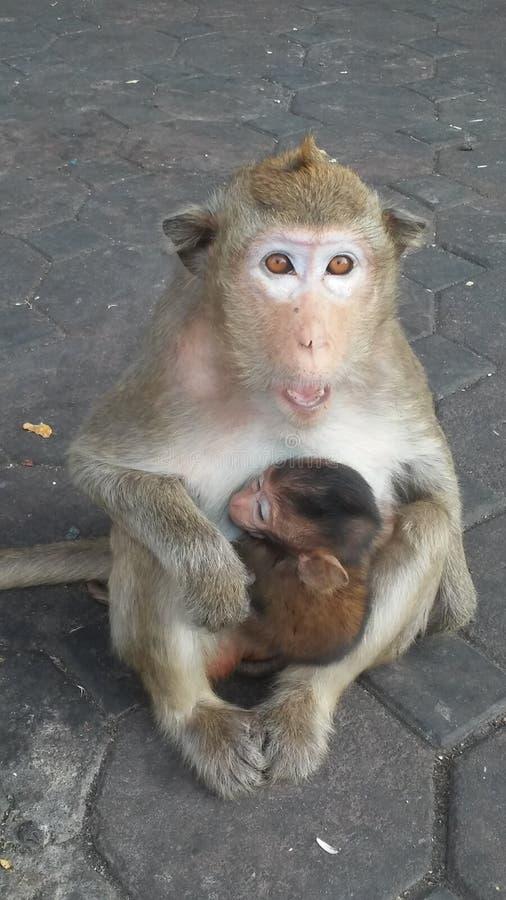Macacos na rua em Lopburi, Tailândia imagens de stock royalty free