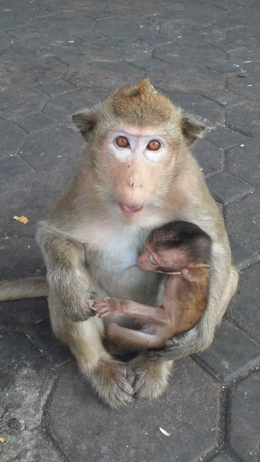 Macacos na rua em Lopburi, Tailândia foto de stock royalty free