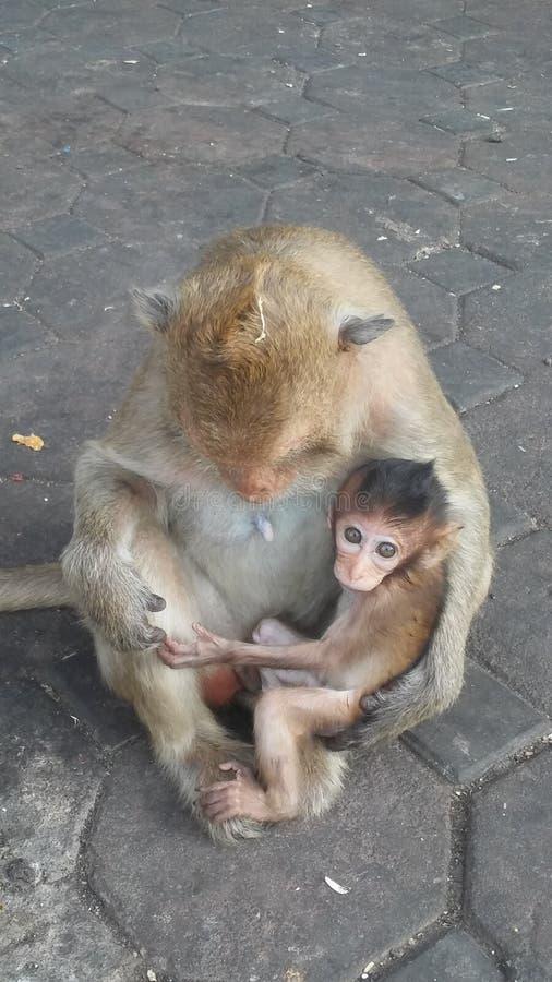 Macacos na rua em Lopburi, Tailândia imagem de stock royalty free