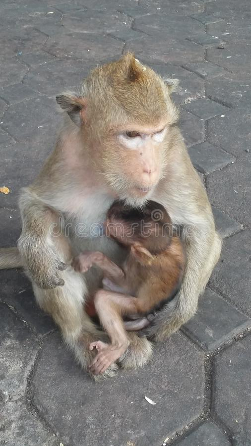 Macacos na rua em Lopburi, Tailândia fotos de stock
