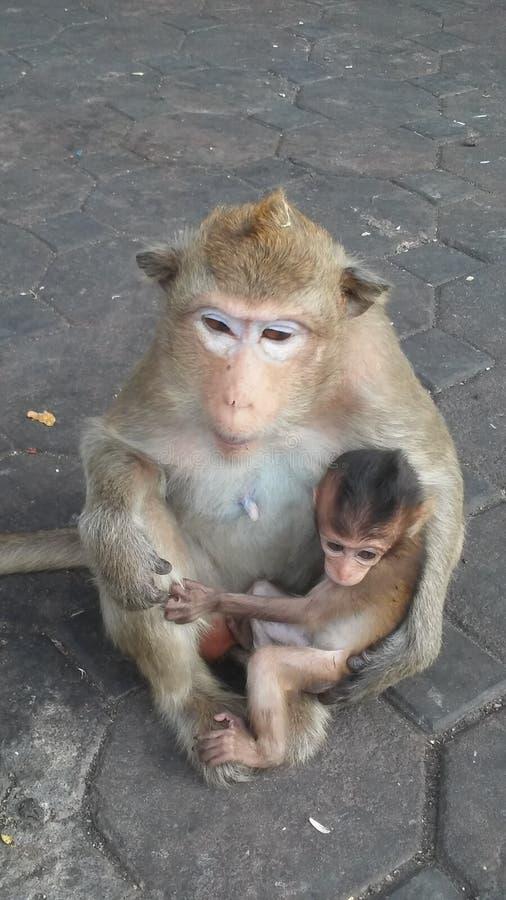 Macacos na rua em Lopburi, Tailândia fotografia de stock