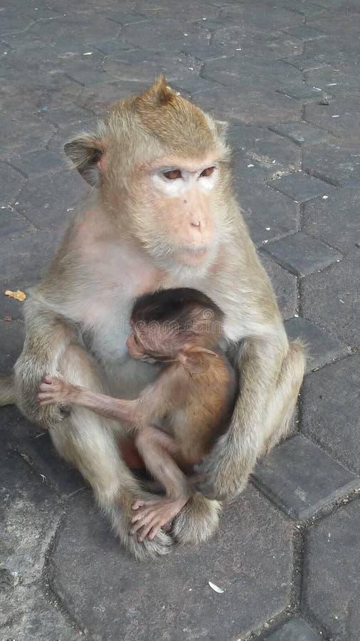 Macacos na rua em Lopburi, Tailândia foto de stock
