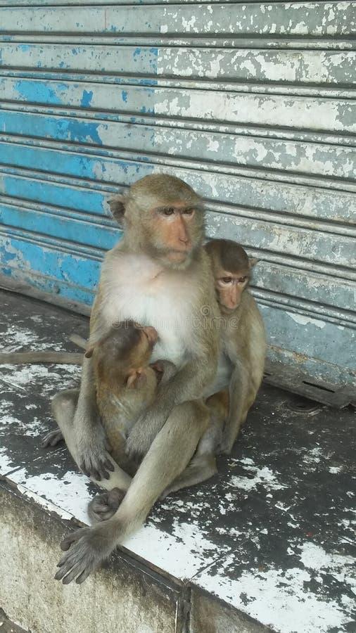 Macacos na rua em Lopburi, Tailândia imagens de stock