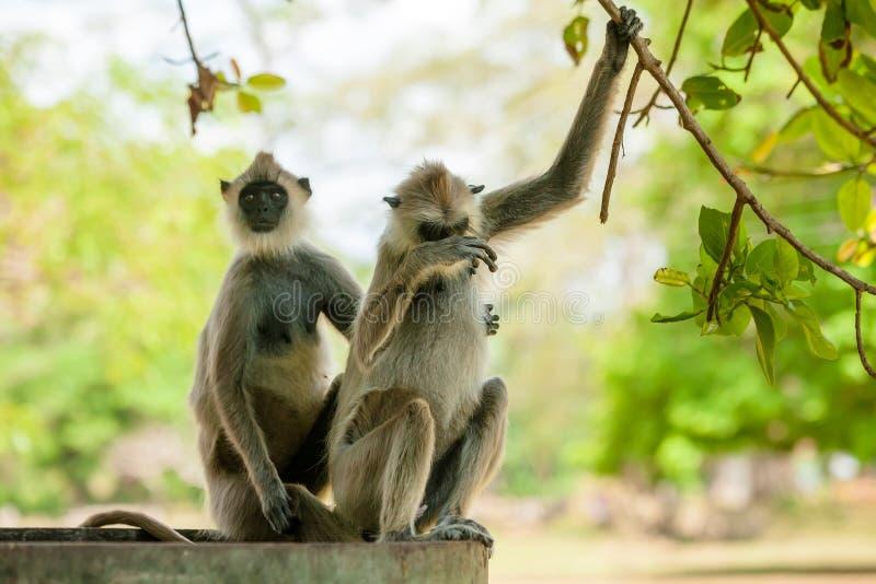 Macacos nas selvas de Sri Lanka fotografia de stock royalty free
