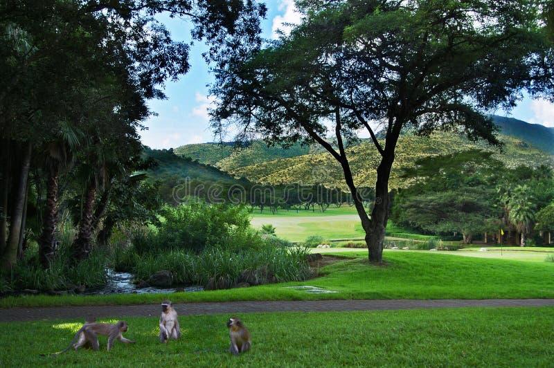 Macacos no campo de golfe, Sun City, África do Sul fotografia de stock royalty free