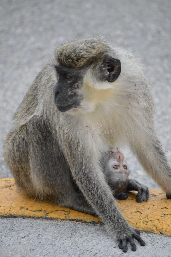Macacos no Fort Lauderdale imagem de stock