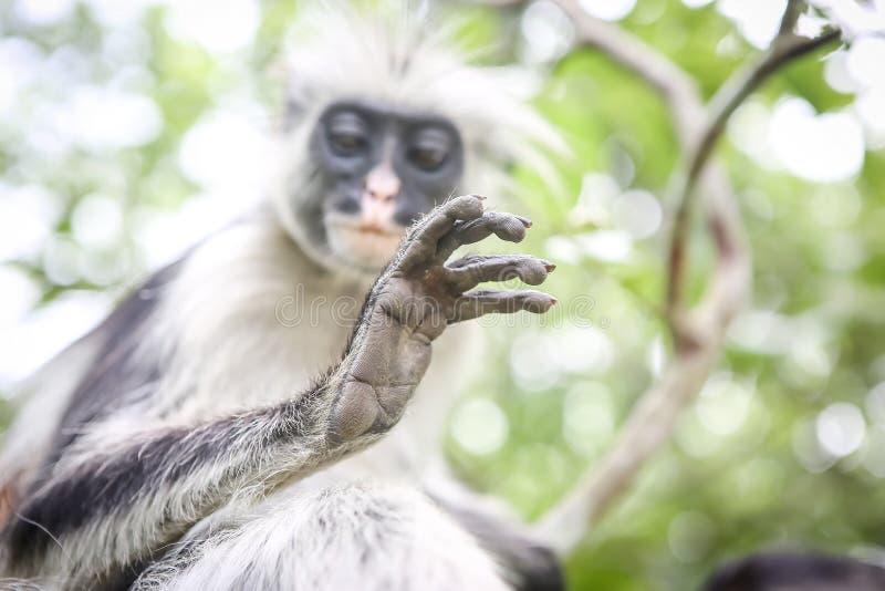 Macacos no habitat natural na tarde das árvores primatas foto de stock royalty free